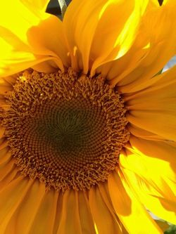 The Perfect Sunflower